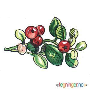 Tyttebær - HØST