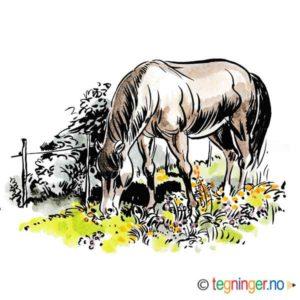 Hest som gresser – DYR