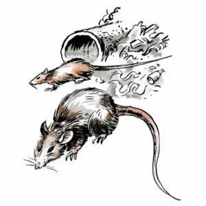 Rotter er en plage – DYR