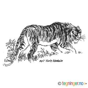 Tiger – DYR